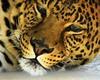 leopard - explore (Marvin Bredel) Tags: oklahoma animal explore leopard marvin animalkingdomelite impressedbeauty marvin908 bredel marvinbredel