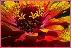 lasting-zinnia-08 (fancee1960) Tags: pink flowers orange white plant flower beautiful yellow cherry colorful neon dynamic bright vibrant unique dramatic vivid addicted unusual psychedelic brilliant jazzy fascinating evocative fineartphotos mywinners youaremywinner betterthangood theperfectphotographer cherryontopphotography awesomeblossoms addictedtocolor yellowredworld