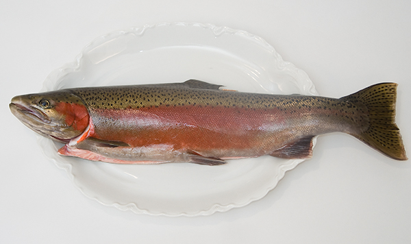 a hatchery steelhead
