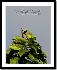 Red-breasted parakeet (Psittacula alexandri) (Z.Faisal) Tags: wild green bird nature tia natural beak feather seed aves des eat parakeet bangladesh bangla faisal redbreasted avin chittagong zamir rangamati alexandri psittacula modna pakhi redbreastedparakeet psittaculaalexandri zamiruddinfaisal modnatia zfaisal