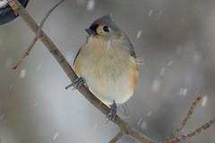 Tufted Titmouse (pbrowns) Tags: titmouse tuftedtitmouse