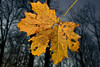 The last one (Pieter Musterd) Tags: autumn canon leaf raw herfst thenetherlands blad explore haagsebos outstandingshots mywinners canoneos400d aplusphoto pietermusterd vrijefotografie freefotography
