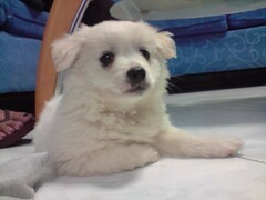 my new dog! (snippy.snippy.crab.kristine.) Tags: new dog white cute happy weird pom crazy random sleep name awesome crab it odd terrier sleepy kawaii what almost hyper maltese pomeranian snore omg should kristine shall malt snippy effing cristino