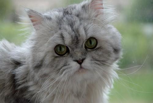 Persian Rescue Cats Cheltenham