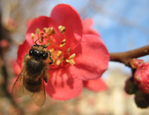 Bee on Chaenomeles