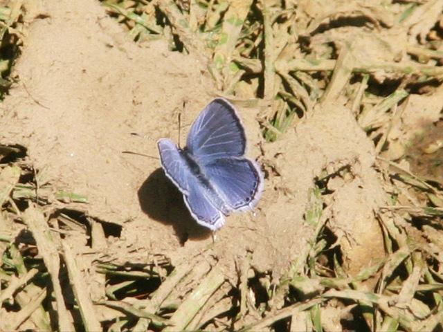 spring azure butterfly photo by Adrienne Zwart