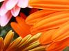petali di tre colori