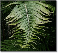 Like Wings (melolou) Tags: fern green nature leaves vert fougre feaf