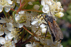 Empis tessellata on Pyracantha (Zeldenrust) Tags: empistessellata pyracantha vuurdoorn insects insect tierchen insecte animalito vlieg fly fliege mouche mosca bichito fauna dansvlieg grotedansvlieg empididae dancefly balloonfly empids daggerfly faune hendrikvanzeldenrust vanzeldenrust zeldenrust