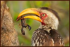 The stinger stung (hvhe1) Tags: africa food bird nature animal southafrica bravo wildlife natuur reserve safari scorpion prey stinger mala vogel venomous arthropod gamedrive giftig schorpioen yellowbilledhornbill tockusleucomelas malamala neushoornvogel specanimal hvhe1 hennievanheerden avianexcellence