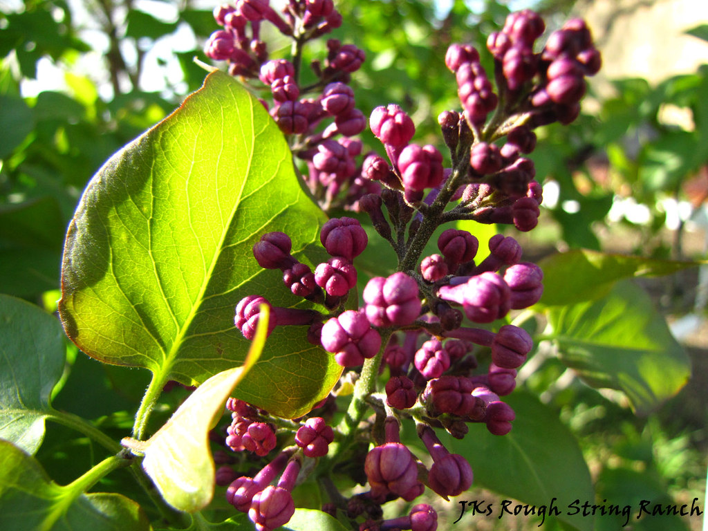 Lilac in the Evening Sun