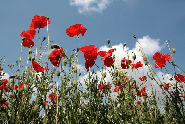 red flowers, white clouds, blue sky