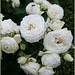 "White ""Artemis"" Rose"
