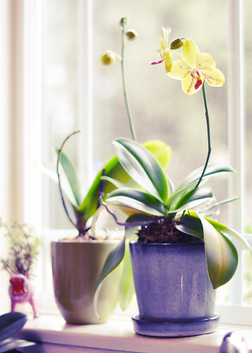 regrowing orchids on the window sill