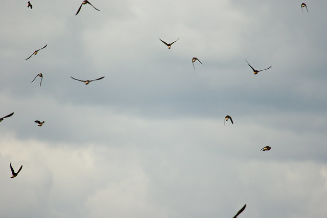 SD 063 18 Cliff Swallows flock