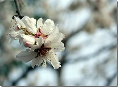 Almond spring blooms (canmom ( Carrie )) Tags: family pink flowers vacation white flower macro tree closeup digital canon turkey lens eos 350d rebel xt hotel spring interesting zoom turkiye cottage almond explore 350 bloom blooms canoneos350d bungalow aile otel iek eos350 blueribbonwinner yazlk f4556 badem explored canonefs1855mmf3556 90300 enstantane bungalov platinumphoto fotorafkraathanesi canadahotel turchiatrkiye firsttheearth diamondclassphotographer flickrdiamond trkiyeturchia ilovemypic onlythebestare betterthangood theperfectphotographer turkiyeturchia mailciler excellentsflowers canmom flowersallkinds llovemypic explorewinnersoftheworld showmeyourqualitypixels canadahotelbungalows canadahotelciraliolympos canadahotelralolimpos