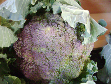 purple broccoli at Maya's Farm