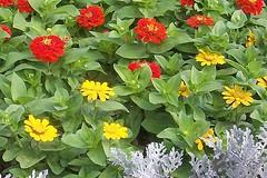 Nice flower bed  zinnias (~Suemil~) Tags: flowers red yellow zinnias impressedbeauty superbmasterpiece onlythebestare