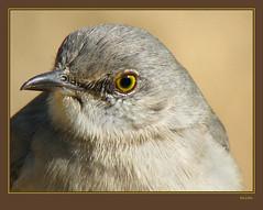 mockingbird head