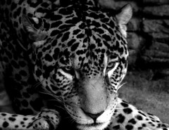 Jaguar (Netsirksmada) Tags: photography adams bigcat kristen jaguar woodlandparkzoo
