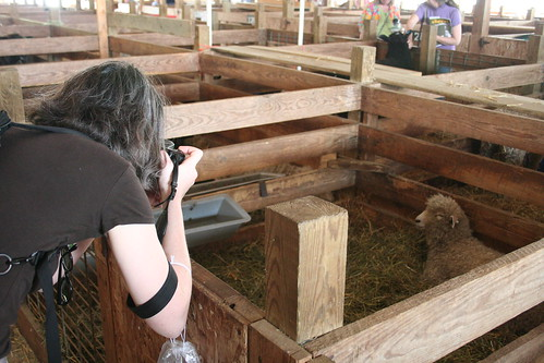Rachel photographing sheep