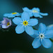 Forget-me-not by Alan By The Sea