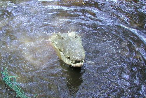 Croc 3