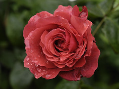 Fragrant Cloud (Britta's photo world) Tags: red plant flower rose coral britta fragrantcloud 60mmf28dmicro niermeyer awesomeblossoms