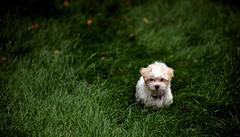 Felix (rocketdude) Tags: dog pet green film grass puppy felix photoblog mendelssohn