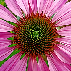 In Your Face! (Baab1) Tags: pink flowers lines petals spirals circles patterns blossoms maryland macros soe pinks dlux smorgasbord iloveit southernmaryland naturesfinest leicadlux2 calvertcountymaryland fantasticflower mywinners abigfave shieldofexcellence leicadlux3 diamondclassphotographer flickrdiamond theunforgettablepictures betterthangood excapturemacro chesapeakebeachmaryland natureselegantshots flowersarefabulous mimamorflowers radialcomposition