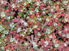 Broad-leaved stonecrop (leaves) (Wayne Weber) Tags: flowers washington wildflowers crassulaceae sedumspathulifolium deceptionpassstatepark broadleavedstonecrop