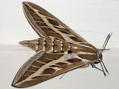 Striped Hawk-moth (Hyles livornica) -   (yoel_tw) Tags: moth sphingidae macroglossinae hawkmoth hyles  hyleslivornica stripedhawkmoth macroglossini sphingidaemundi choerocampina