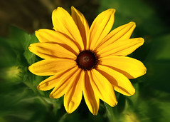 Yellow Flower (Sam Howzit) Tags: columbuszoo yellowflower blackeyedsusan