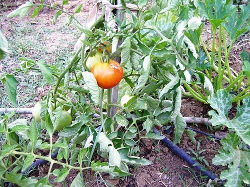 Ντομάτα κόκκινη
