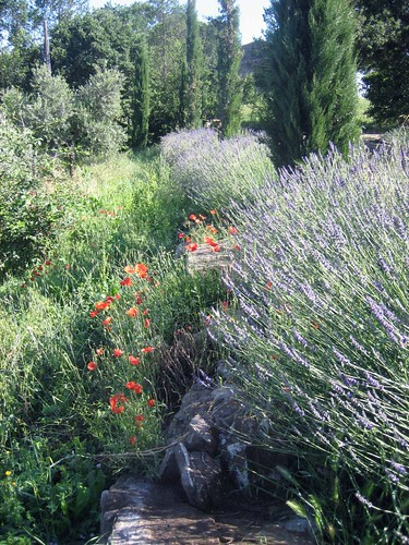 poppies_lavender_0023