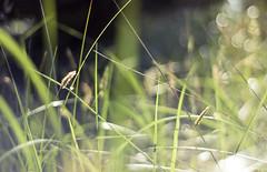 (Meredith_Farmer) Tags: summer beach nature oregon outside outdoors memorial availablelight or naturallight oregoncoast organic manualfocus 50mmf18 naturallighting nikon50mmf18 ftstevensstatepark nikond40