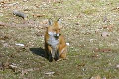 fox barb ballard