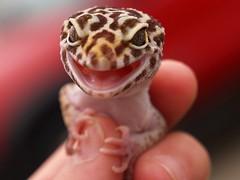 Leopard Gecko stronghold (i5prof) Tags: critter phobia leopardgecko 1on1petsphotooftheweek ourdailytopic 1on1petsphotooftheweekjuly2008