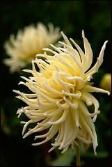Spaghetti flower (Kirsten M Lentoft) Tags: dahlia flower tivoli momse2600 excellentsflowers multimegashot flickrflorescloseupmacros kirstenmlentoft