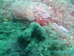elposte200708014gd6 (coismarbella) Tags: marbella crustaceos cnidarios