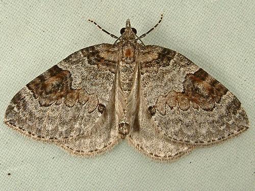 1275 Plemyria georgii - George's Carpet Moth 7216