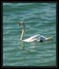 CIGNO (ale2171) Tags: lago swan garda uccelli gettyimages isola cigno mywinners colourartaward goldstaraward