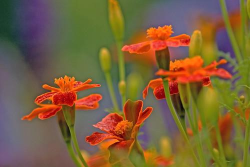 Marigolds. by musicman67.