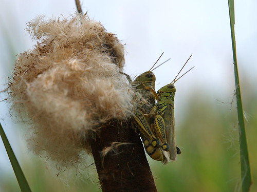 Grasshoppers on Cattails