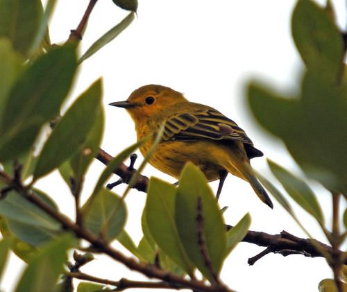 yellow warbler4