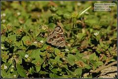 butterfly-painted lady1 (garanger1403) Tags: georgia butterflies paintedlady