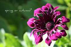 Autumn? (ralijers) Tags: flowers autumn macro primavera nature canon spring purple natura fiori autunno 450d maryunmito