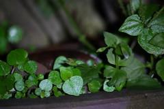 small leaves (air maxx) Tags: china wallpaper hk flower tree nature night leaf hong kong