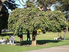 Janice Joplin tree