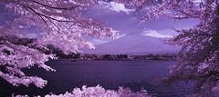 Fuji-yama Framed in Foilage No.2 (aeschylus18917) Tags: infrared japan yamanashi kawaguchilake panorama nature fuji mtfuji fujiyama surreal kawaguchiko nikon d70 danielruyle aeschylus18917 danruyle druyle 赤外線 ir landscape scenery nikond70 sky tree ダニエルルール ダニエル ルール mountfuji 富士山 fujisan yamanashiprefecture 山梨県 yamanashiken lake mountain 河口湖 1870mmf3545gifdx nikkor1870f3545g nikkor1870f3545gdx 日本 1870mm 1870f3545g pxt